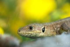 Immature green lizard