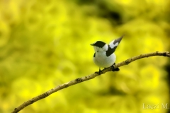 A singing older collared flycatcher male