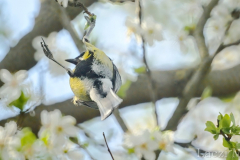 Great tit male during courtship