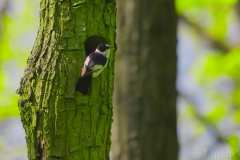 A collared flycatcher male at a natural nest-hole