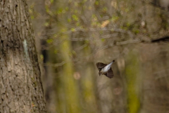 A collared flycatcher female