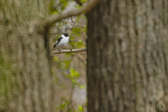 A collared flycatcher male