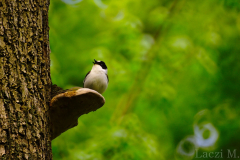 A courting collared flycatcher male