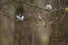 Two collared flycatcher males competing each other