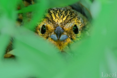 A yellowhammer female warming her nestlings