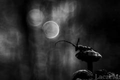 A longhorn beetle (Morimus funereus)