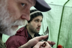 Blood sampling from a collared flycatcher