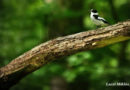 Escape ability and risk-taking behaviour in the collared flycatcher